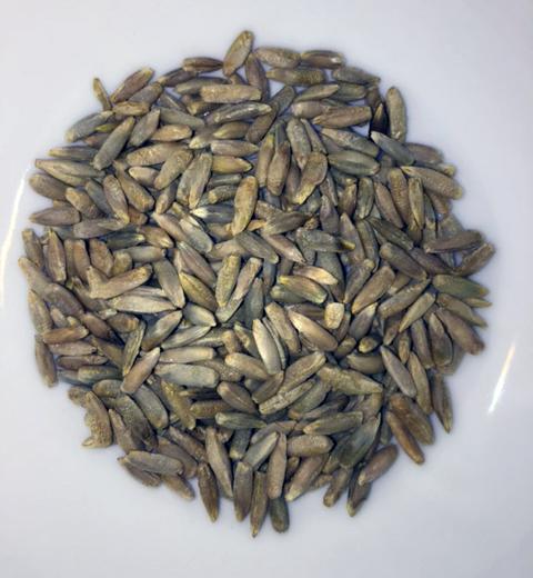 Rosen Rye Seeds